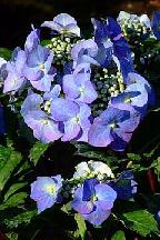 "гортензия  крупнолистная  ""ЗОРРО  БЛУ"" - hydrangea  macrophyla  <br>""ZORRO  BLUE"""