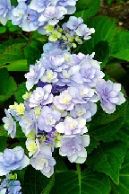 "гортензия  крупн.  <br>""Ю  ЭНД  МИ  ФОРЭВЕ"" - hydrangea  macr.  <br>""YOU  AND  ME  FOREWER"""