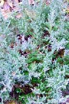 """можжевельник  горизонтальный<br>""""АГНЕШКА"""" - juniperus  horizontalis    """"AGNIASZKA"""""""