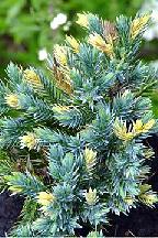 "можжевельник  чешуйчатый<br>""ФЛОРЕАНТ"" - juniperus  squamata  ""FLOREANT"""