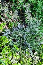 """можжевельник  горизонтальный<br>""""ГЛЕТЧЕР"""" - juniperus  horizontalis<br>""""GLACIER"""""""