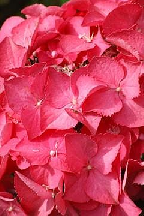 "гортензия  крупн.  ""ФОРЭВЕ  ЭНД  ЭВЕ  РЭД"" - hydrangea  macr.  ""FOREVER  AND  EVER  RED"""