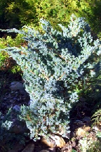 "можжевельник  китайский<br>""БЛЮ  АЛЬПС"" - juniperus  chinensis  ""BLUE  ALPS"""