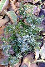 """можжевельник  обыкновенный<br>""""БЕРКШИР"""" - juniperus  communis    """"BERKSHIRE"""""""