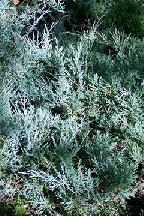 """можжевельник  горизонтальный<br>""""ХЬЮДЖЕС"""" - juniperus  horizontalis  """"HUGHES"""""""