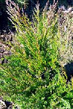 """можжевельник  горизонтальный<br>""""ВИНТЕР  БЛУ"""" - juniperus  horizontalis<br>""""WINTER  BLUE"""""""
