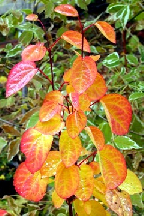 багряник  японский - cercidiphyllum  japonicum