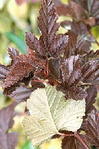 "пузыреплодник  ""РЭД  БАРОН""  - physocarpus  opulifolius<br>""RED  BARON"""