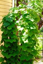 луносемянник  (даурский  плющ) - menispermum  davuricum