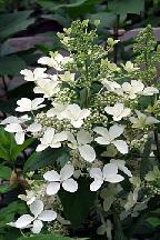 "гортензия  метельчатая  ""МЕГА  ПЕРЛ"" - hydrangea  paniculata <br>""MEGA  PEARL"""