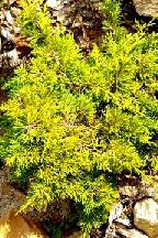 """можжевельник  китайский<br>""""ПЛЮМОЗА  АУРЕА"""" - juniperus  chinensis  """"PLUMOSA  AUREA"""""""