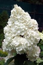 "гортензия  метельчатая  ""ПОЛАР  БЕАР"" - hydrangea  paniculata <br>""POLAR  BEAR"""