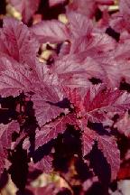"""пузыреплодник  """"ДИАБОЛО""""  - physocarpus  opulifolius  """"DIABOLO"""""""