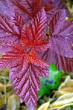 """пузыреплодник  """"ЖДЕХОВИЦ""""  - physocarpus  opulifolius  """"ZDECHOVICE"""""""