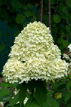 "гортензия  метельчатая  ""СЕЛЕКШН""  - hydrangea  paniculata  ""SELECTION"""