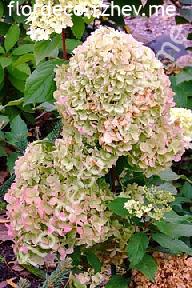 "гортензия  метельчатая  ""ДИАМАНТИНО"" - hydrangea  paniculata<br>""DIAMANTINO"""