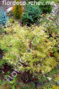 "туя  западная<br>""ГОЛДЕН  ГЛОБ  ВАРИЕГАТА"" - thuja  occidentalis  ""GOLDEN  GLOBE  VARIEGATA """