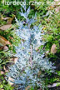 """можжевельник  скальный<br>""""БЛУ  ХЭВЕН"""" - juniperus  scopulorum<br>""""BLUE  HEAVEN"""""""