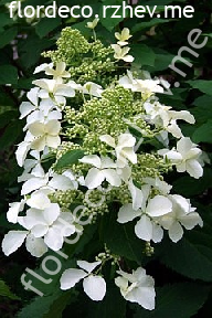 "гортензия  метельчатая  ""ЛЕВАНА""  - hydrangea  paniculata  ""LEVANA"""