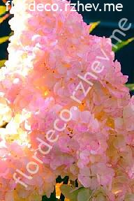 "гортензия  метельчатая  ""ВАНИЛЛА  ФРЕЙЗ""  - hydrangea  paniculata  <br>""VANILLE  FRAISE"""