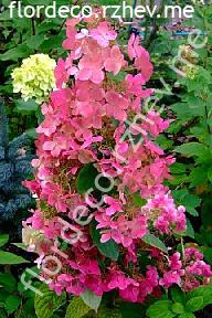 "гортензия  метельчатая  ""БУРГУНДИ  ЛЭЙС"" - hydrangea paniculata  ""BURGUNDY  LACE"""