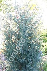 """можжевельник  скальный<br>""""СПРИНГБАНК"""" - juniperus  scopulorum  """"SPRINGBANK"""""""