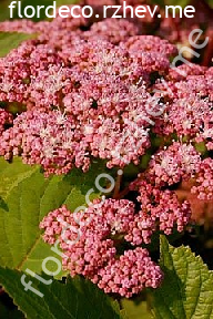 "гортензия  древовидная  ""ПИНК  ПИНКЁШН"" - hydrangea  arborescens  <br>""PINK  PINCUSHION"""