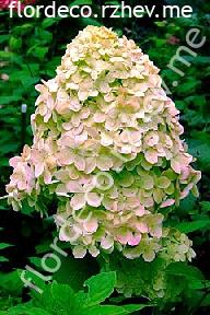 "гортензия  метельчатая  ""ЛАЙМЛАЙТ""  - hydrangea  paniculata  ""LIMELIGHT"""
