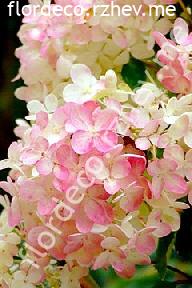"""гортензия  метельчатая  """"КОМПАКТА"""" - hydrangea paniculata  """"COMPACTA"""""""