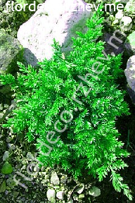 "можжевельник  распростёртый<br>""НАНА"" - juniperus  procumbens<br>""NANA"""