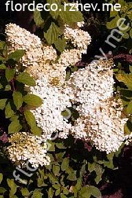 "гортензия  метельчатая  ""БОБО"" - hydrangea  paniculata<br>""BOBO"""