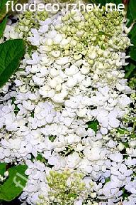 "гортензия  метельчатая  ""БОМБШЕЛЛ""  - hydrangea  paniculata  ""BOMBSHELL"""