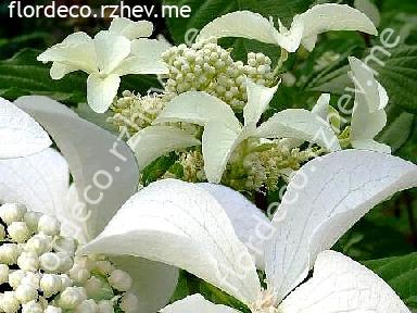 "гортензия  метельчатая  ""ГРЭЙТ  СТАР"" - hydrangea  paniculata <br>""GREAT  STAR"""