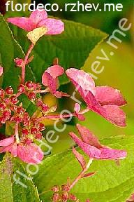 """гортензия  метельчатая  """"МЕГА  МИНДИ"""" - hydrangea  paniculata  <br>""""MEGA  MINDY"""""""