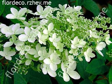 "гортензия  метельчатая  ""ДОЛЛИ""  - hydrangea  paniculata <br> ""DOLLY"""