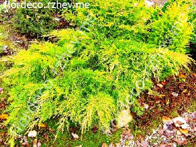"можжевельник  средний  гибр.<br>""ДИРКС  ГОЛД"" - juniperus  х  media    ""DIERK""S  GOLD"""