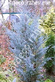 """можжевельник  скальный<br>""""ВИЧИТА БЛЮ"""" - juniperus  scopulorum  """"WICHITA  BLUE"""""""