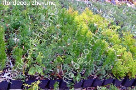 размер растений - контейнеры 1.5л