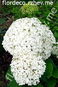 "гортензия  древовидная  ""БАУНТИ""  - hydrangea  arborescens  ""BOUNTY"""