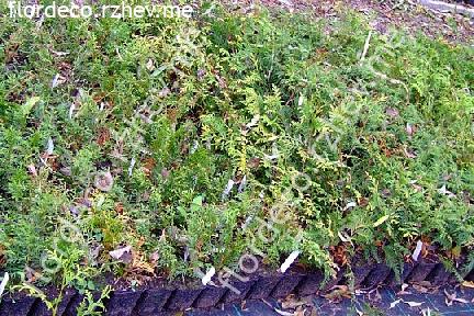 размер растений - контейнеры 0.65л