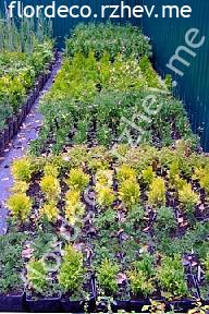 размер растений - контейнеры 3л